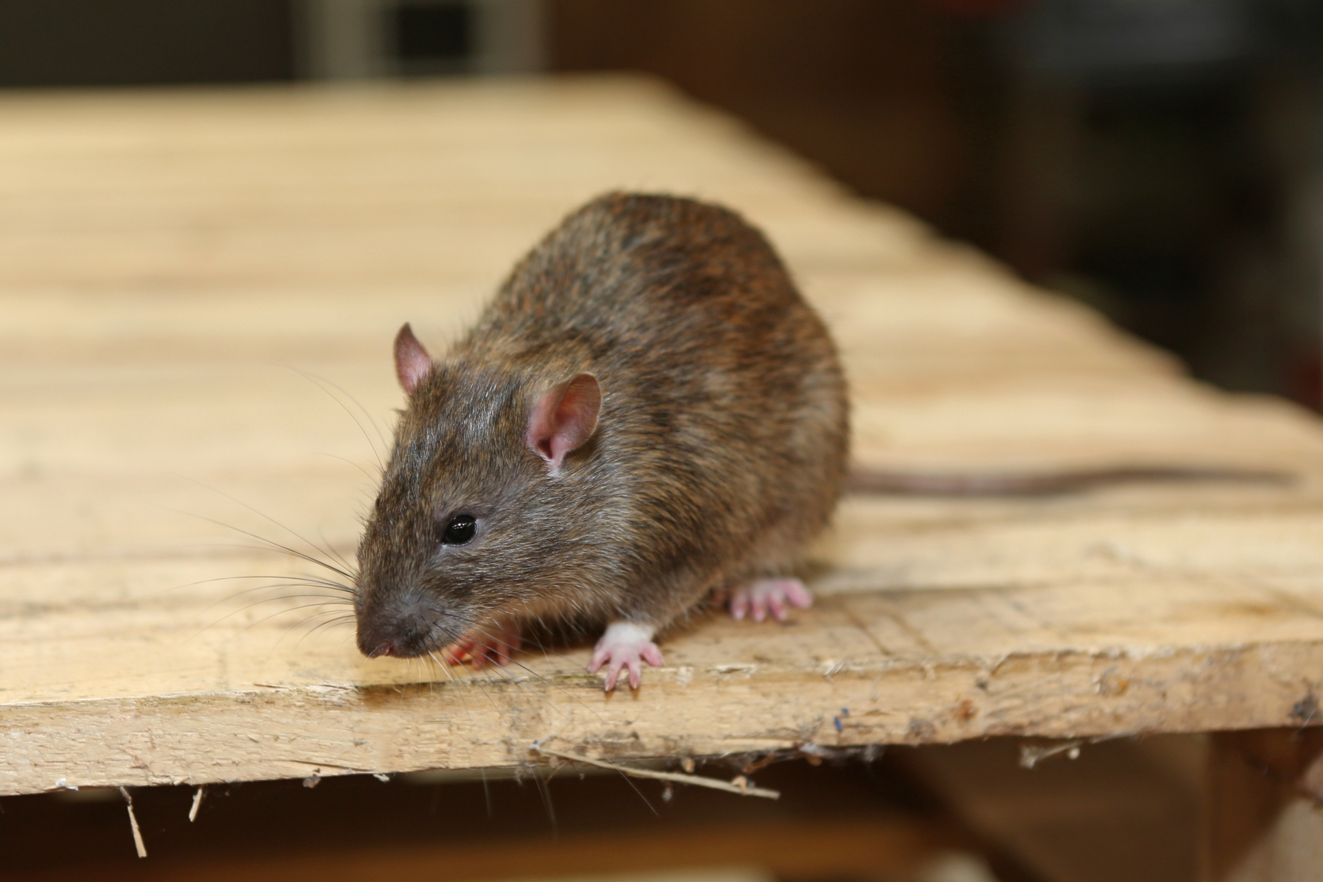 Rat Control, Pest Control in Woolwich, SE18. Call Now 020 8166 9746