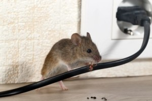 Mice Control, Pest Control in Woolwich, SE18. Call Now 020 8166 9746